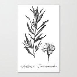 French Tarragon Botanical Illustration Canvas Print