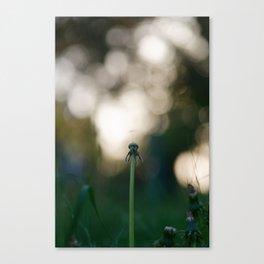 Dandelion blossom defocused Canvas Print