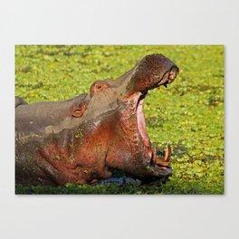 Hippo Boss, Africa wildife Canvas Print