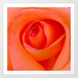 Beautiful Orange Rose Blossom Art Print