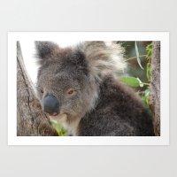 Koala - Tasmania Art Print