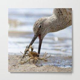 Watercolor Bird, Willet 09, Eating Rusty Crayfish, Longmont, Colorado, A Mouthful! Metal Print