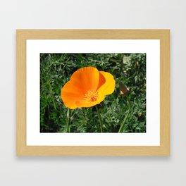 Golden Beauty. California Poppy. © J. Montague. Framed Art Print