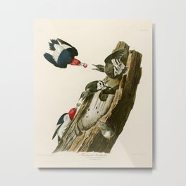Red headed Woodpecker - John James Audubon's Birds of America Print Metal Print