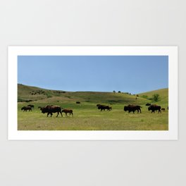 American Buffalo Walking on Prairie of North America Panorama Art Print