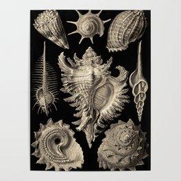 Ernst Haeckel Prosobranchia Sea Shells Poster