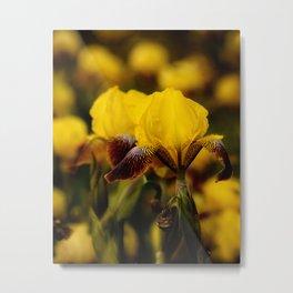Yellow and Maroon Irisis Metal Print