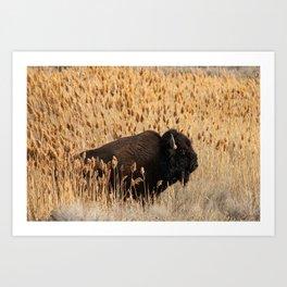 Bison - Antelope Island, Great Salt Lake, Utah Art Print