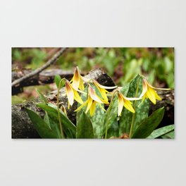 Trout Lilies in the Spring Canvas Print