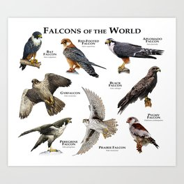 Falcons of the World Art Print