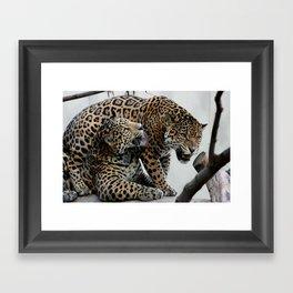 Jaguar Feud  Framed Art Print