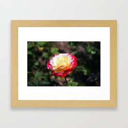 Rose With Colorful Tips Framed Art Print