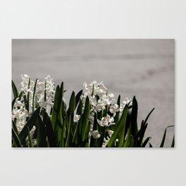 Hyacinth background Canvas Print