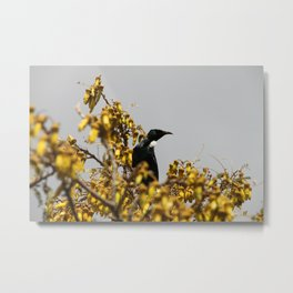 New Zealand Tui bird Metal Print