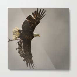 Bald Eagle taking flight Metal Print