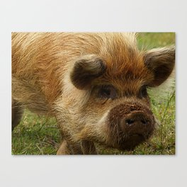 March of the Ginger Pig Canvas Print