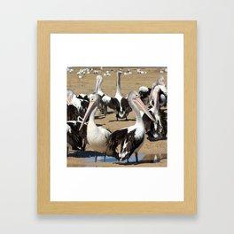 Pod of Australian Pelicans Framed Art Print