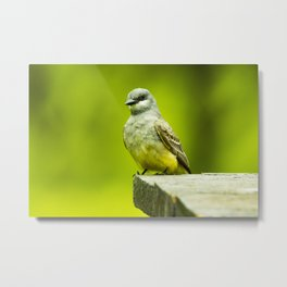Eye Catching Western Kingbird by Reay of Light Photography Metal Print