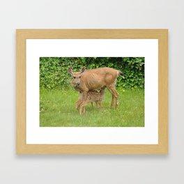 Mom Deer (Columbian Black-tailed deer) nursing bambi's 5 Framed Art Print