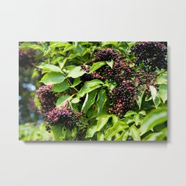 Elderberry fruits fresh clusters Metal Print