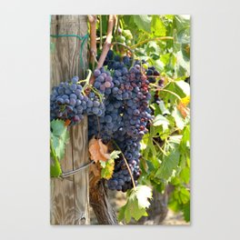 Purple Grapes Canvas Print