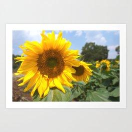 sunflower photography Art Print