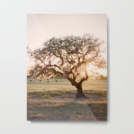 Lone Oak at Golden Hour / Florida Fine Art Film Photography Metal Print