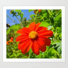 Tithonia with Bee, Floral Art Print