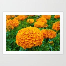 Marigolds in Spring Art Print