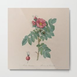 Rosa JP Redoute Metal Print