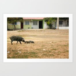 Pigs crossing the Pitch in Cartegena Art Print