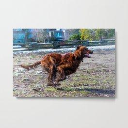 Irish Setter running full gallop Metal Print