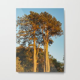 Trees in Afternoon Autumn Sunlight Metal Print