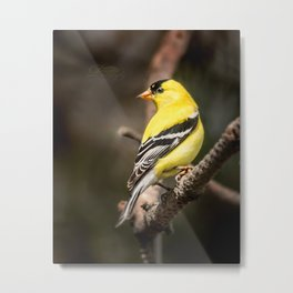 May Gold Finch Metal Print