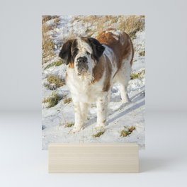 Cute Saint Bernard dog in the snow Mini Art Print