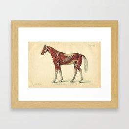 Vintage Horse Muscle Anatomy Print Framed Art Print