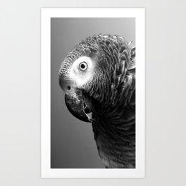 Curiosity Of Bo - African Grey Parrot Photography Animals Art Print