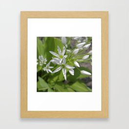 bear´s garlic bloom II Framed Art Print