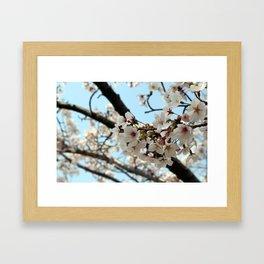 Jinhae Cherry Blossoms Framed Art Print