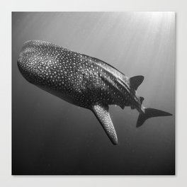 Whale shark black white Canvas Print