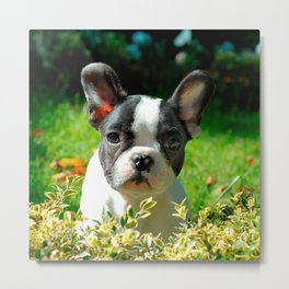 French bulldog puppy behind the foliage Metal Print