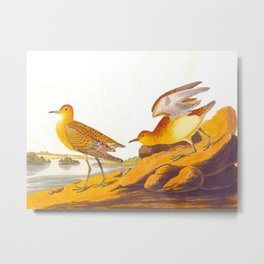 Buff-breasted Sandpiper Bird Metal Print