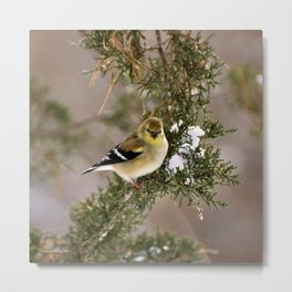 Professor Goldfinch Metal Print