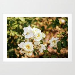 Vintage White Roses In The Garden Art Print