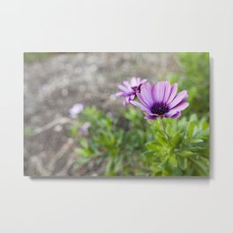 Osteospermum in Purple Metal Print