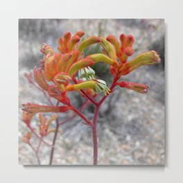 Orange Kangaroo Paw Flowers Metal Print