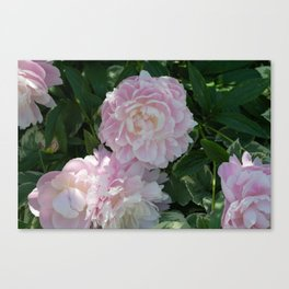 pink puffs Canvas Print