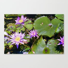 Water Lily - Nymphaea sp. Canvas Print