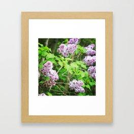 Purple Lilacs in Spring -Series -#3 Framed Art Print
