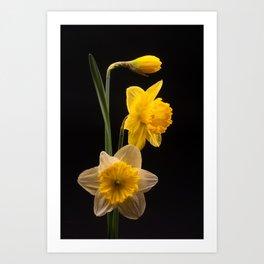 Doffodils Art Print